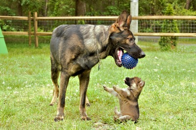 Ball and Tongue Wolf and up